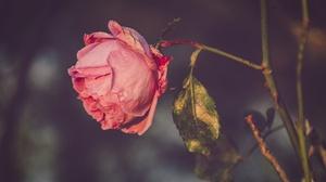 Pink Flower Pink Rose 6000x4000 Wallpaper