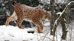 Big Cat Lynx Snowfall Wildlife Winter Predator Animal 1920x1278 Wallpaper