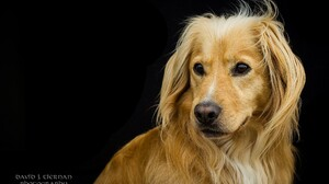 Animal Dog Golden Retriever Muzzle Pet 2048x1309 Wallpaper