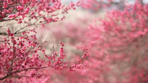 Branch Cherry Blossom Pink Flower 3008x2000 Wallpaper