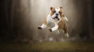Depth Of Field Dog English Bulldog Pet 2048x1365 wallpaper