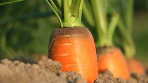 Carrot Close Up Vegetable 3464x2309 Wallpaper