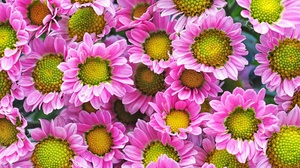 Earth Chrysanthemum 2048x1365 wallpaper