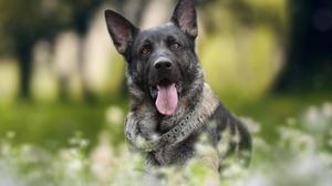 Depth Of Field Dog German Shepherd Pet 2592x1728 Wallpaper