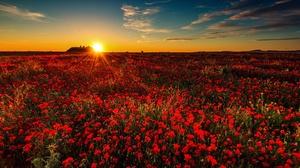 Flower Nature Poppy Red Flower Summer Sunrise 2000x1278 Wallpaper