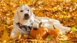 Dog Fall Golden Retriever Pet Pumpkin 2048x1364 Wallpaper