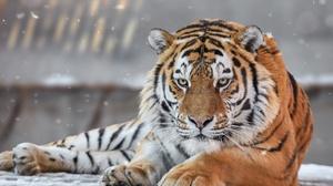 Wildlife Big Cat Predator Animal 2350x1745 Wallpaper