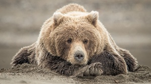 Bear Wildlife Predator Animal 1980x1320 Wallpaper