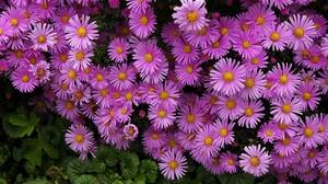 Daisy Earth Flower Purple Flower 2421x1651 Wallpaper