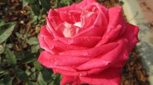 Rose 1920x1440 wallpaper