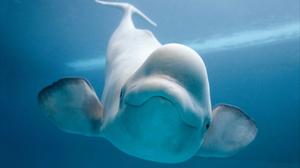 Animal Beluga Whale 1920x1200 Wallpaper