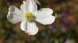 Flower Flowering Dogwood 3008x2000 wallpaper