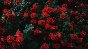 Flowers Nature Landscape Red Plants Forest Field Bushes Grass Photography Leaves Green Roses Rose Co 3840x2400 Wallpaper