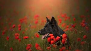 Dog German Shepherd Poppy Red Flower 2048x1367 Wallpaper