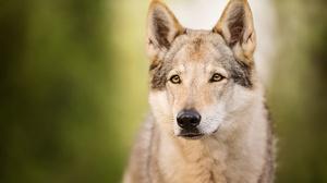 Czechoslovakian Wolfdog Wildlife Wolf Predator Animal 2048x1366 Wallpaper