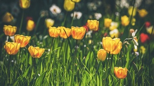 Flower Nature Tulip Yellow Flower 3840x2160 wallpaper