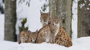 Baby Animal Cub Big Cat Wildlife Snow 2000x1335 Wallpaper