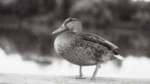 Fujifilm Monochrome Birds Mallard Mallard Duck Ducks Animals Nature 6240x4160 Wallpaper