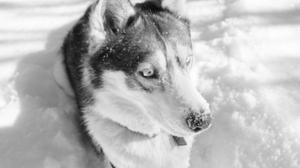 Animal Husky 3731x2685 Wallpaper