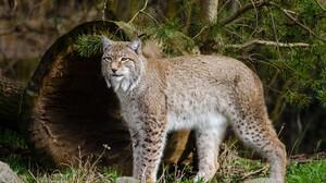 Wildlife Nature Lynx Bobcat Big Cats 4096x2713 Wallpaper