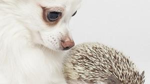 Animals Dog Porcupine White Background 2013x3000 Wallpaper