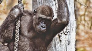 Gorilla Wildlife 1920x1280 Wallpaper