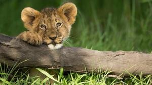 Baby Animal Big Cat Cub Wildlife 2048x1366 Wallpaper