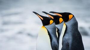 Animal Bird King Penguin Penguin 2048x1365 Wallpaper