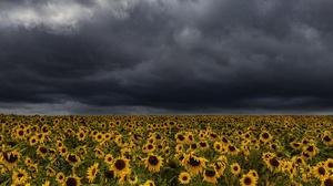 Outdoors Landscape Dark Clouds Field Agro Plants Sunflowers Flowers Yellow Flowers Plants Nature 2560x1707 Wallpaper