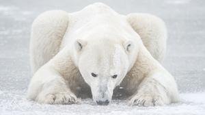 Polar Bear Wildlife Predator Animal 2000x1331 Wallpaper