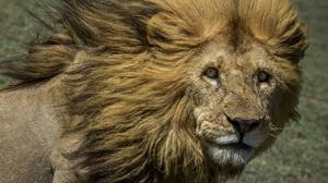 Big Cat Lion Stare Wildlife Predator Animal 2048x1306 wallpaper