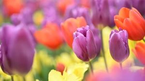 Flower Macro Nature Orange Flower Purple Flower Tulip 2048x1367 wallpaper
