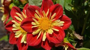 Dahlia Flower 4928x3264 wallpaper