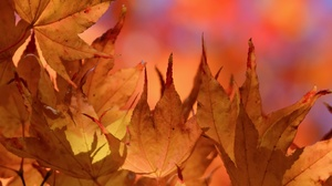 Fall Leaf Macro Nature 2560x1568 wallpaper