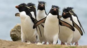Bird Penguin Rockhopper Penguin 1920x1200 Wallpaper