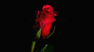 Bud Flower Red Flower Red Rose Rose Water Drop 2048x1356 Wallpaper
