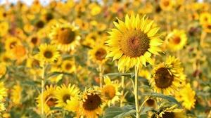 Flower Nature Summer Sunflower Yellow Flower 2560x1707 Wallpaper