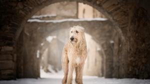 Depth Of Field Dog Pet Soft Coated Wheaten Terrier Winter 2048x1220 Wallpaper