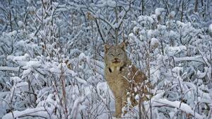 Bing Photography Nature Canada Lynx Big Cats Mammals Animals Snow Winter 1920x1080 Wallpaper
