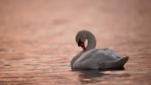 Swan Bird Wildlife 2048x1365 Wallpaper