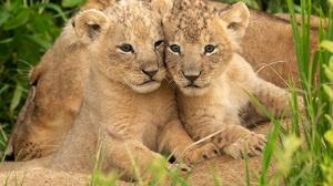 Baby Animal Wildlife Cub Big Cat 2048x1420 Wallpaper