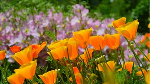 Eschscholzia Flower Nature Orange Flower 3004x1859 wallpaper