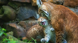 Animal Lynx 2880x1800 wallpaper
