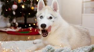 Christmas Dog Husky Pet 2000x1333 Wallpaper