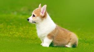 Baby Animal Corgi Dog Pet Puppy 1930x1080 Wallpaper