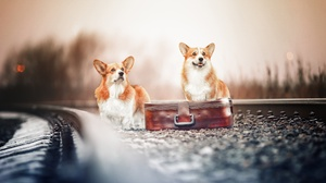Corgi Dog Pet Suitcase 2500x1667 Wallpaper