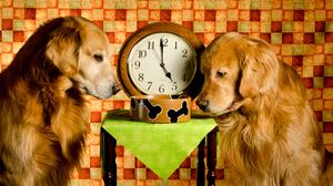 Clock Dog Golden Retriever Pet 4784x2691 Wallpaper