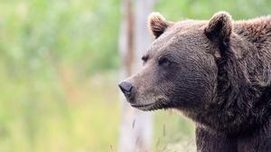 Bear Wildlife Predator Animal 1920x1279 Wallpaper