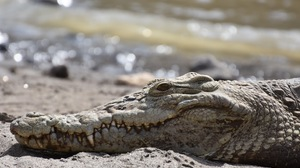 Crocodile Animal Collective Nature Wildlife 1620x1080 Wallpaper