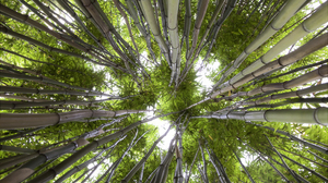 Bamboo Forest Green Nature 1920x1200 Wallpaper